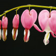 Bleeding Hearts — Stock Photo