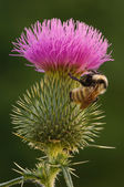 Bee on Thistle — Stock Photo