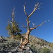 Stock Photo: Bristlecone Pines