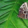 Common Blue Morpho Butterfly — Stock Photo #12468711