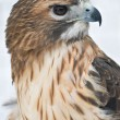 Stock Photo: Red-tailed Hawk