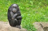 Retrato de chimpancé — Foto de Stock