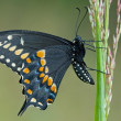 Stock Photo: Black Swallowtail Butterfly