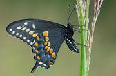 Black Swallowtail Butterfly — Stock Photo
