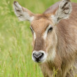 Female Waterbuck - Stock Photo