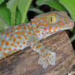 Stock Photo: Tokay Gecko Gekko
