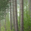Spring Forest in Fog - Stock Photo