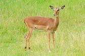 Female Impala Portrait — Stock Photo