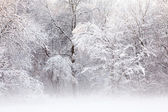 Snow Flocked Trees — Stock Photo