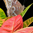 Common Blue Morpho Butterfly — Stock Photo