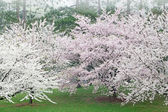 Cherry Trees in Bloom — Stock Photo