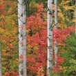 Autumn Maples and Aspens — Stock Photo #12640959