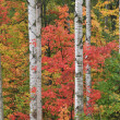 Autumn Maples and Aspens — Stock Photo