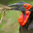 Ground Hornbill - Stock Photo