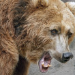 图库照片: Growling, Grizzly Bear
