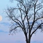 Full Moon and Bare Tree — Stock Photo