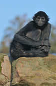 Colombian Spider Monkey — Stock Photo
