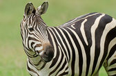 Grant's Zebra — Stock Photo