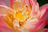 Lotus Unfolding — Stock Photo