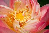 Lotus Unfolding — Stock Photo