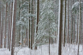Winter, Pine Forest Flocked with Snow — Stock Photo