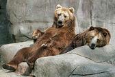Captive Bears — Stock Photo