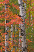 Autumn Birches and Maple — Stock Photo