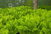 Sensitive Ferns — Stock Photo