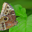 Common Blue Morpho Butterfly - Stock Photo