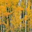 Autumn Birches - Stock Photo