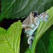Amazon Milk Frog — Stock Photo