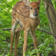 Stock Photo: White-tailed Fawn