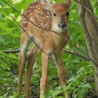 White-tailed Fawn — Stock Photo