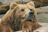 Brown Bear — Stock Photo