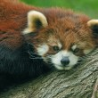 Red Panda Portrait — Stock Photo