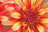 Red and Yellow Dahlias — Stock Photo