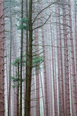 Foggy Pine Forest — Stock Photo