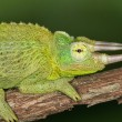 Perched Jacksons Chameleon — Stock Photo #40955381