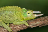 Perched Jacksons Chameleon — Stock Photo