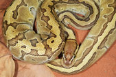 Coiled Ball Python — Stock Photo