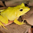 Stock Photo: Solomon Isle Leaf Frog