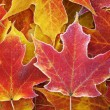 Frosted, Fallen Maple Leaves — Stock Photo