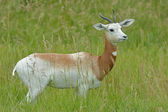 Addra Gazelle Framed by Grasses — Stock Photo