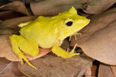 Solomon Isle Leaf Frog — Stock Photo