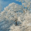 Snow Flocked Trees — Stock Photo #41386867