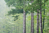 Spring Forest in Fog — Stock Photo