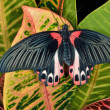 Stock Photo: Scarlet Mormon Butterfly