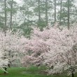 Stock Photo: Spring Cherry Trees in Bloom