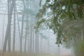 Kellogg Forest in Fog — 图库照片