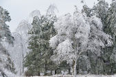 Iced Winter Forest — Stock Photo